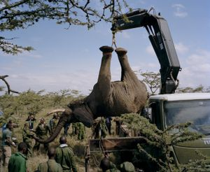elephant relocation # II, ol pejeta conservancy, northern kenya-from the series 'with butterflies and warriors'-David Chancellor