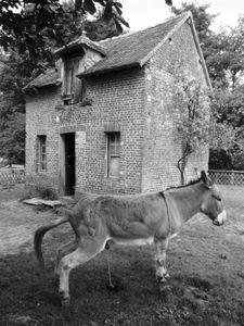 Peeing Donkey