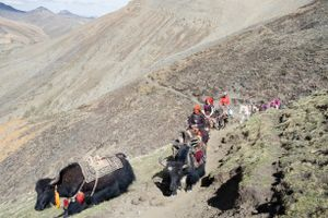 Every year the Dolpo-pa pack all necessary belongings and travel with yak caravans high into the mountains, where they will stay for more than a month searching for yartsa gunbu. Upper Dolpo, Nepal, June 2017.