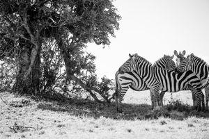 maasai mara-zebra