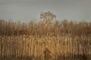 Golden grass 5