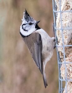 Crested tit eating suet