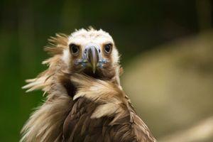 vulture portrait 2