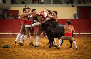 The forcado must be kept in the head of the bull until he stops, otherwise he has to performe another face catch. The reunion is the second part during the Forcados performance. © Eduardo Leal