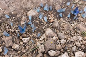 Male blue butterflies taking on minerals ('puddling') in Abruzzo, Italy