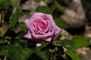 Summer Rose - North Carolina