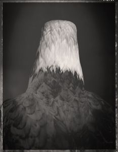 Bald Eagle, Haliaeetus leucocephalus 2© David Ellingsen