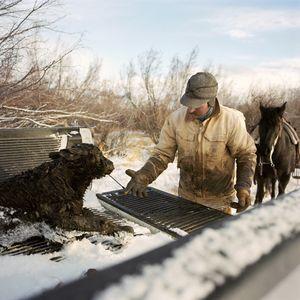 Sick calf being taken indoors, Hamilton Ranch, Montana