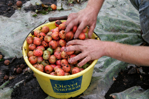 Gathering cider apples in a bucket