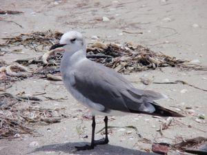Seagull on Sanibel Island 2