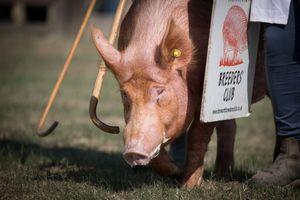 A pig on patrol
