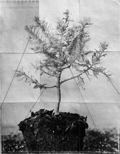 Bonsai (Tethered)