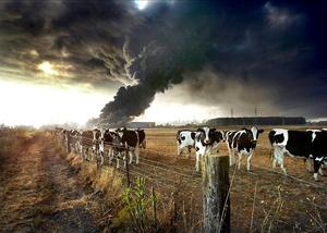 Bovine inferno
