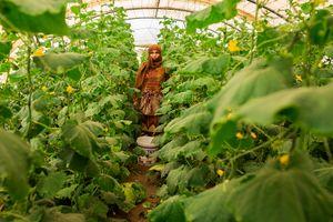 Hasna, from Al-Raqqa, working as a farmer in the zucchini greenhouses.