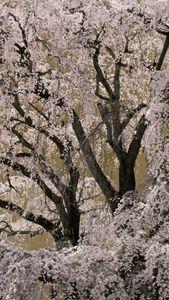 Sakura no5