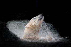 Polar bear enjoying his bath