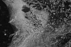 Tent Caterpillar Web #6