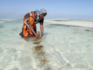 Seaweed Farmers in Zanzibar