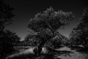 The olive trees' rest