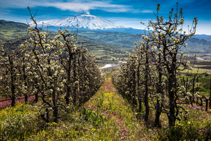 Pear orchard in bloom
