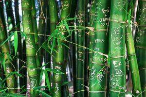 Bamboo trunks