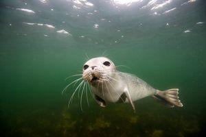 Baby Harbor seal