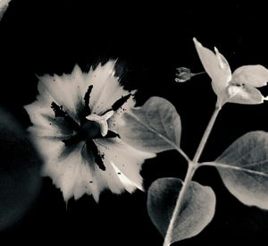 Tulip 24