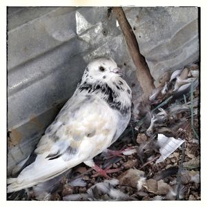 Pigeons in Za'atari refugee camp