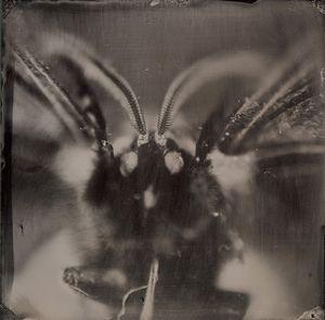 Russian owl moth - portrait