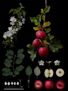 Malus pumila Mill.'No name' Natural hybrid seedling of Cripps Pink
