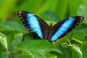 Achilles Blue Morpho Butterfly - © Adel Korkor