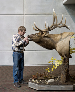 Rock Mountain Elk