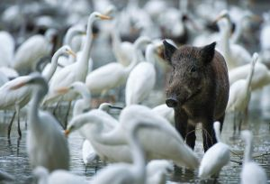 Waders and wild pigs find sustenance in the subsiding flood water | Danube-Dráva National Park (Hungary)
