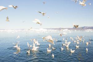 Birds, Ilulissat
