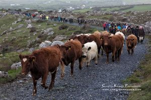 Traditional Cattle Drive