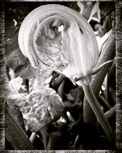 Zucchini's Flower