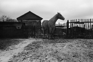 The hobbled horse on a pasture near a hut