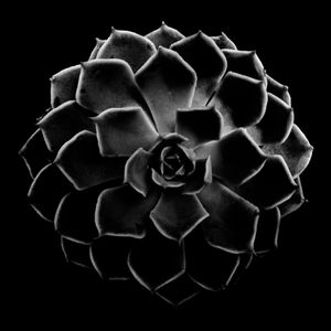 Succulent Series #3 - Echeveria