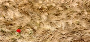 Nella tempesta di grano