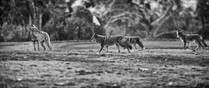 Coyote Golf