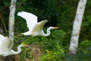 Great Egrets in the Amazon - © Adel Korkor