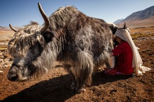 A kyrgyz woman, in the upper Wakhan, milking a Yak cow.