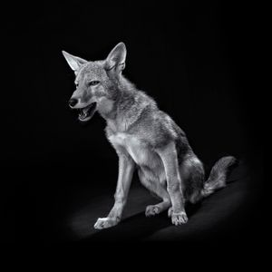 Coyote(Canis latrans)