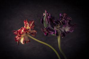 Passion tulips