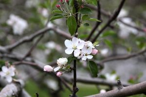 Apple Blossoms- North Carolina