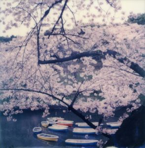 Tokyo Cherry Blossoms 3