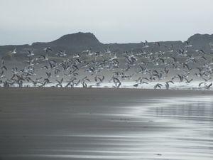 ICELAND SEAGULLS (1)