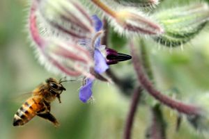 Honey bee pollinator