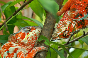 Two male Panther chameleons, Furcifer pardalis, fighting; Madagascar Exotique, Madagascar, 11 November 2015.