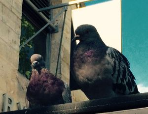 Parisian Pigeons, Paris